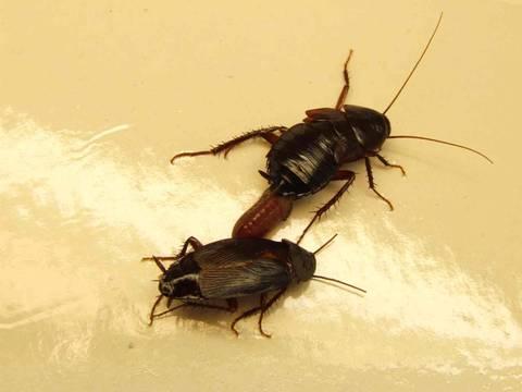 Punture di pulci nell uomo good attenzione questanno invasione di scleroderma domestico with - Punture di insetti nel letto ...